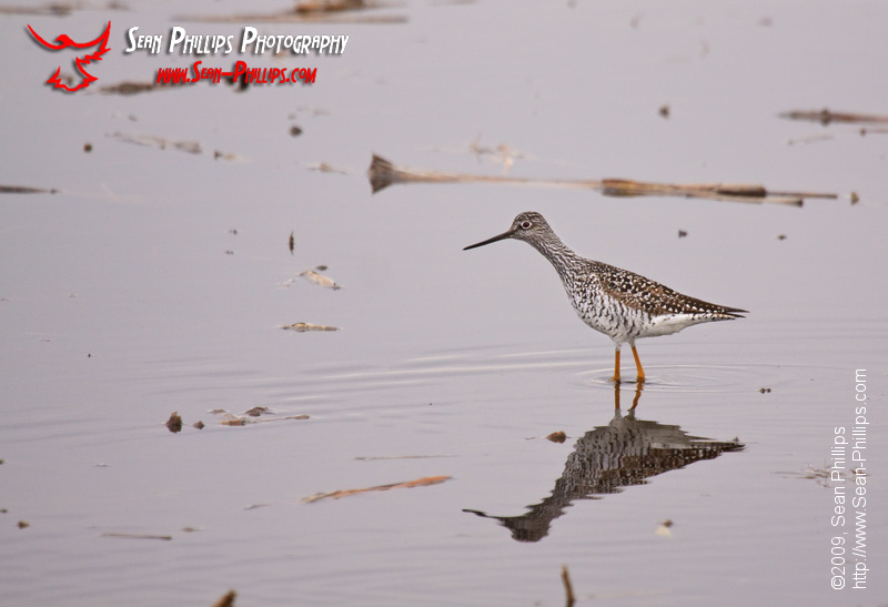 Great Yellowlegs wading in a slough