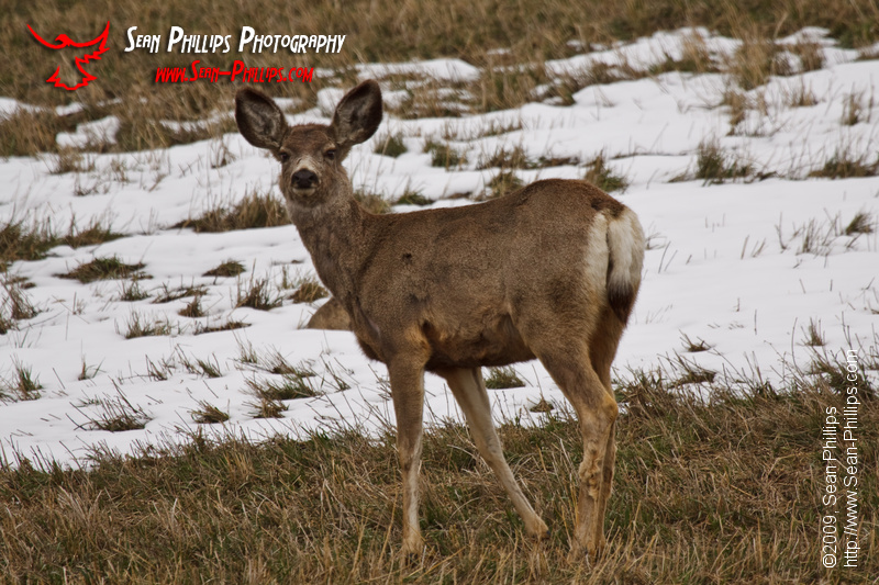 Mule Deer enjoying a snack in a farm field