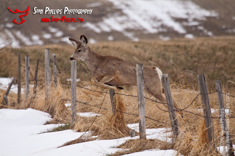 A cautious Mule Deer goes on its way