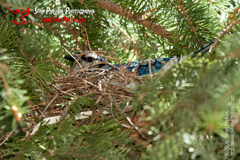 Bluejay on the Nest