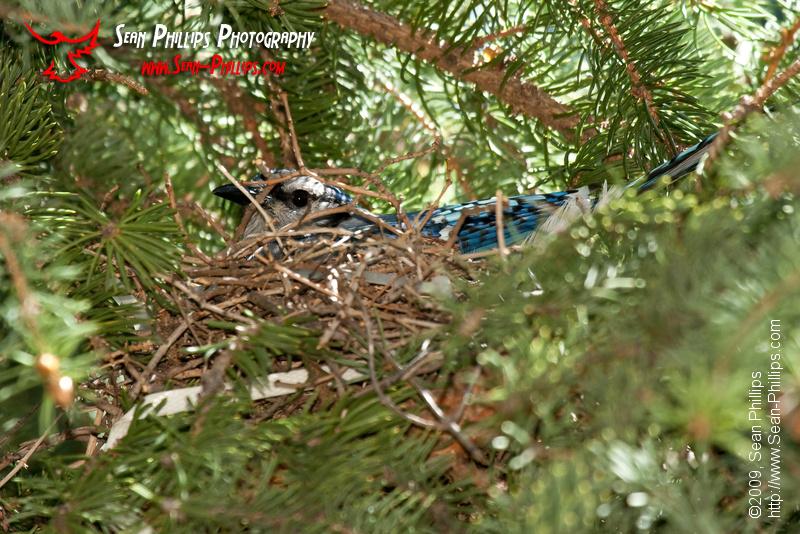 Bluejay on the Nest
