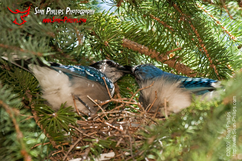 A pair of Nesting Bluejays share a Meal