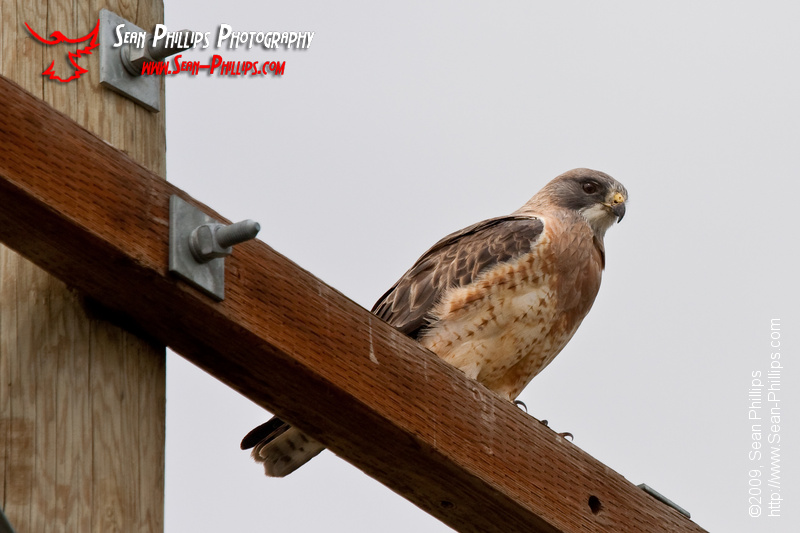 Swainson's Hawk perched on a Power Pole