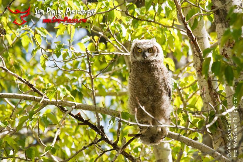 Perching Great Horned Owlet