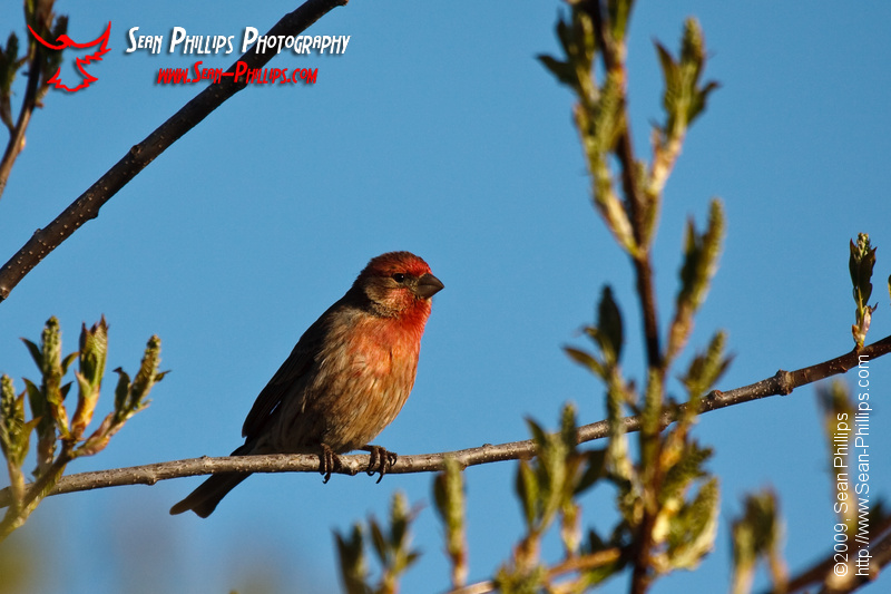 House Finch perched on a branch