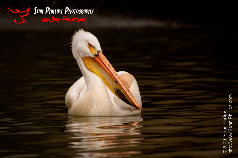 American White Pelican at Carseland Weir