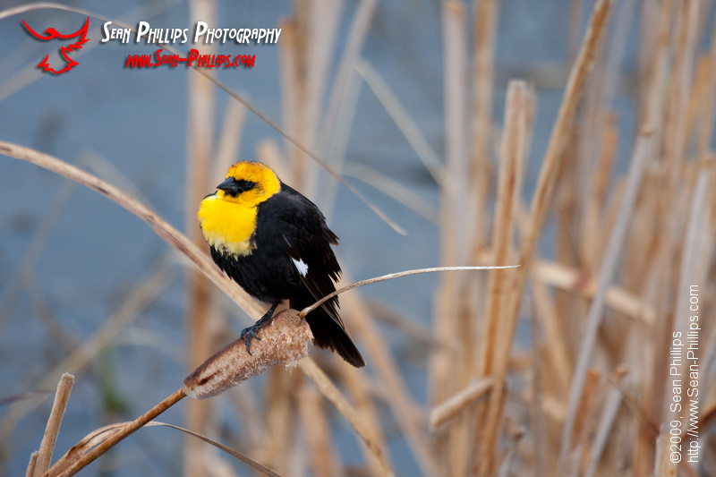 Yellow-headed Blackbird perched on slough grasses
