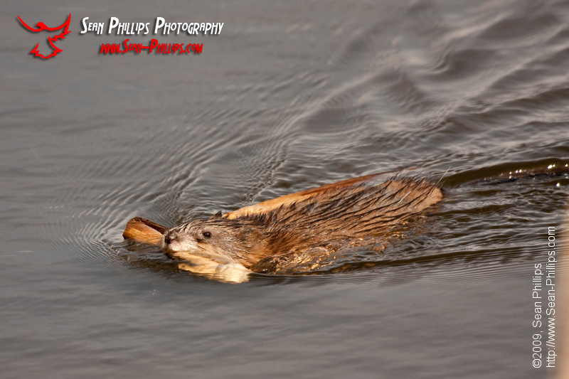 Muskrat with Lumber
