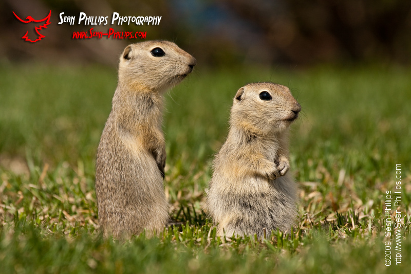 Baby Gophers