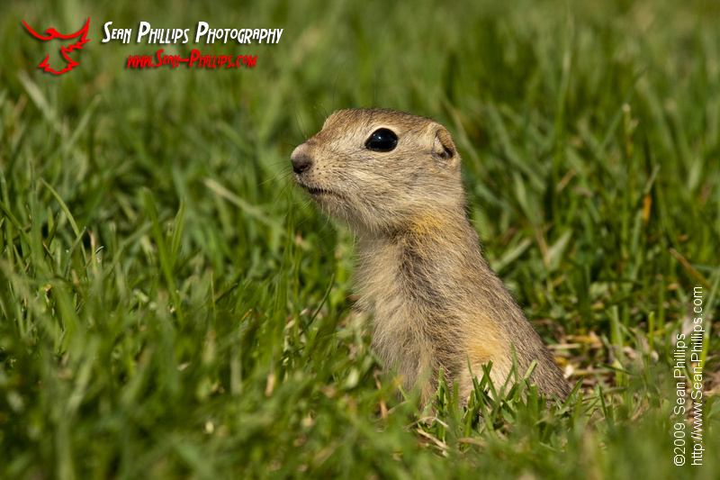 Baby Gopher