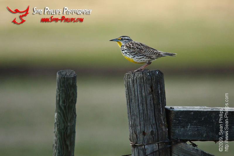 Western Meadowlark on a Fencepost