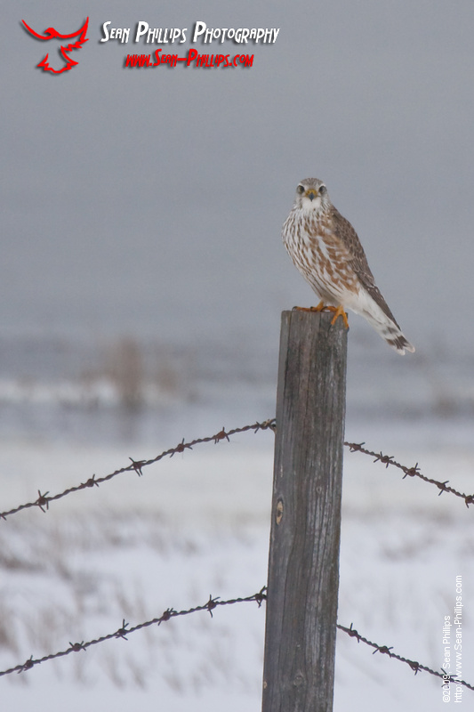 Merlin Falcon perched on a Fencepost