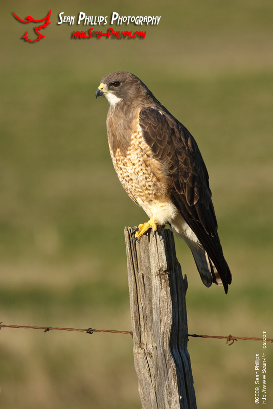 Swainsons Hawk perched on a Fencepost