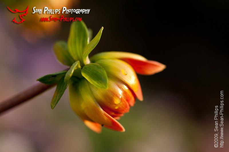 Flowering Dahlia