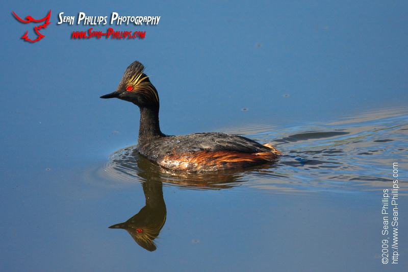 Eared Grebe on Blue Water