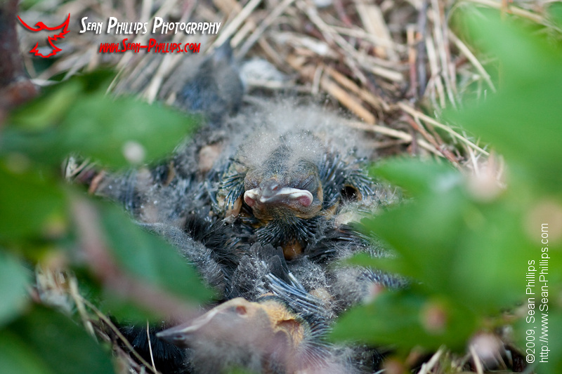 Brewers Blackbird Hatchlings