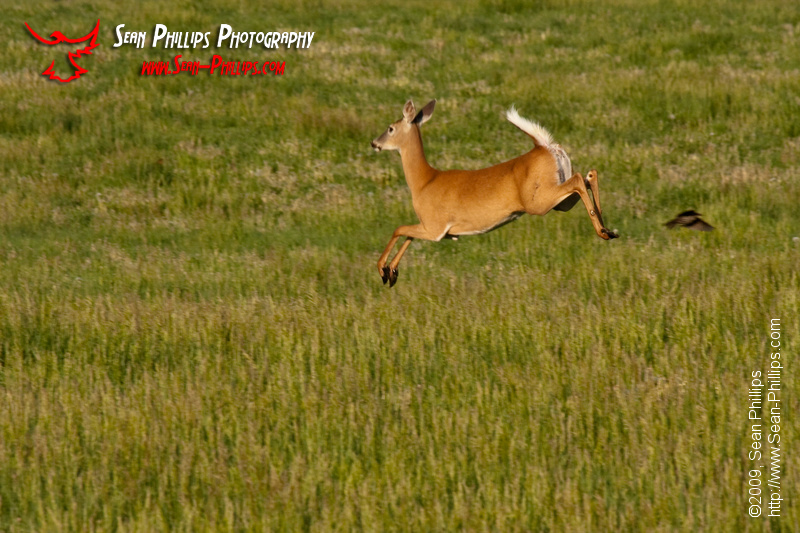 White-tailed Deer bounding over a Prairie Field