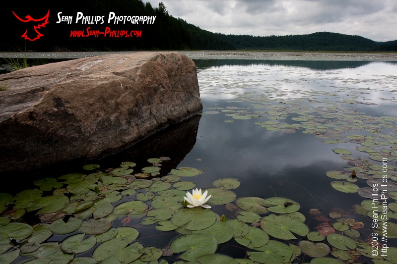 Fragrant Water Lily's on McCarthy Lake in Algonquin Park