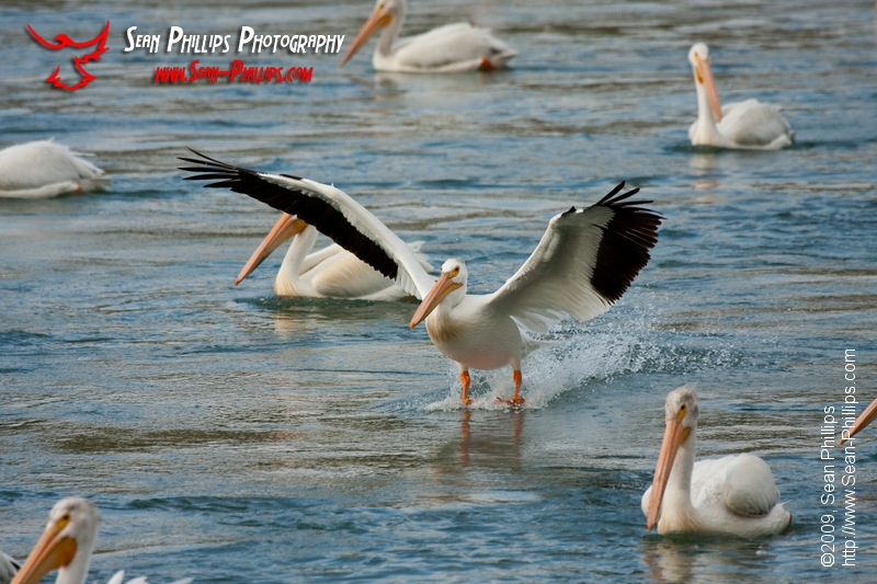 American White Pelicans at the Bow River Weir
