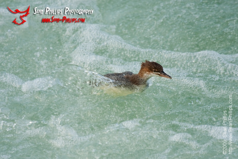 Juvenile Common Merganser