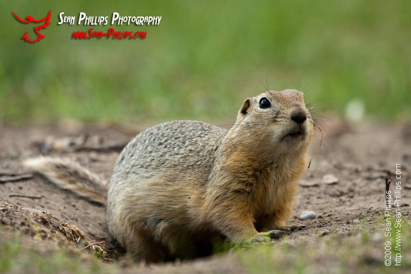 Richardsons Ground Squirrel