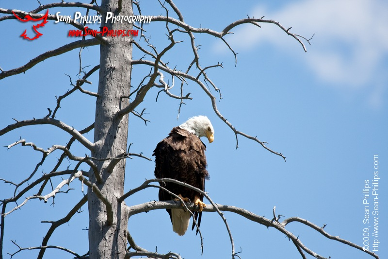 Bald Eagle at Vermillion Lake