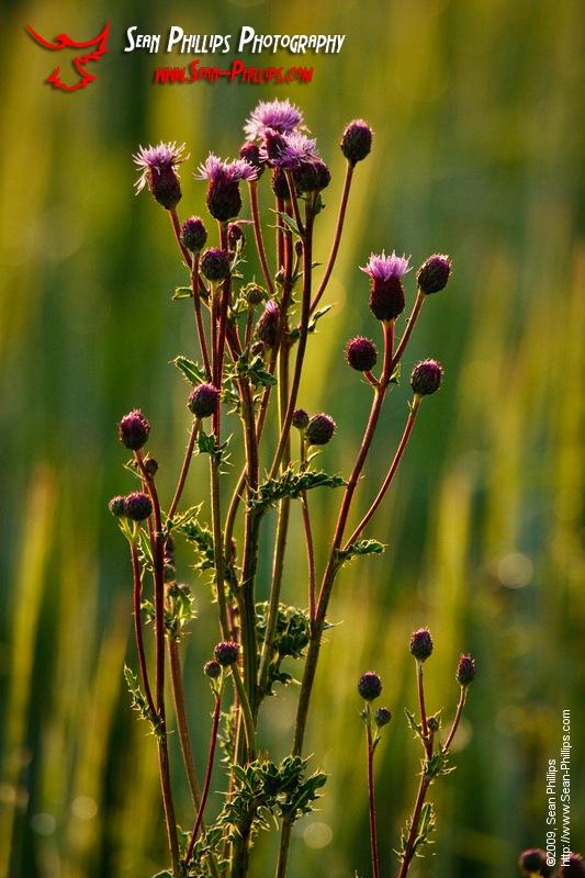 Flowering Canada Thistle