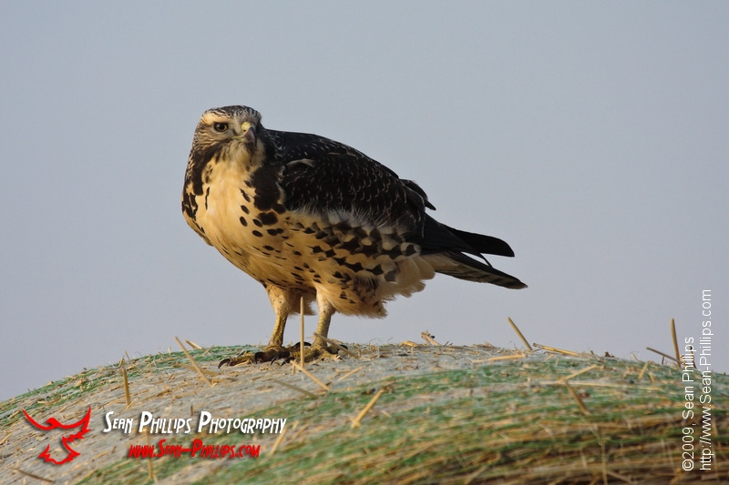 Red-tailed Hawk perched on a Bale