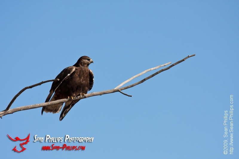 Dark Morph Rough-legged Hawk
