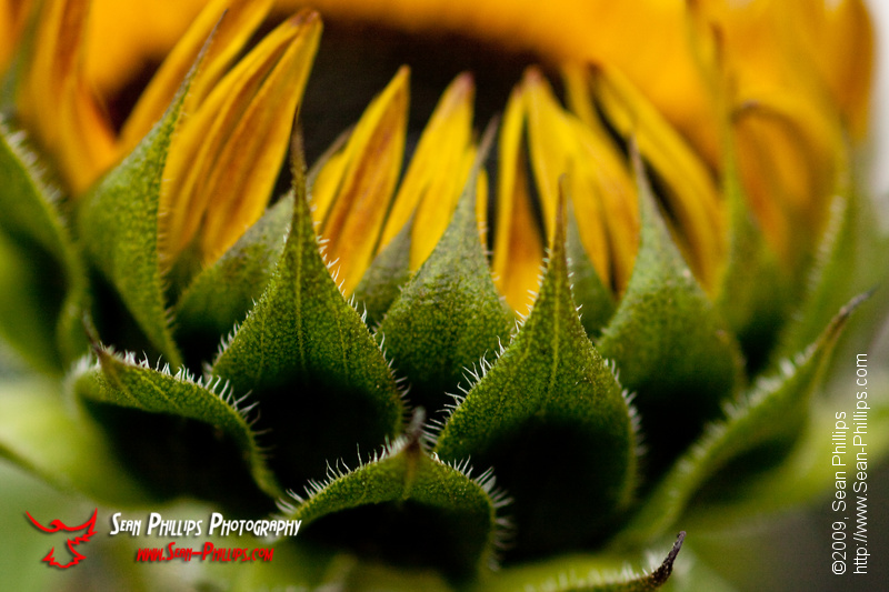Portrait of a Sunflower