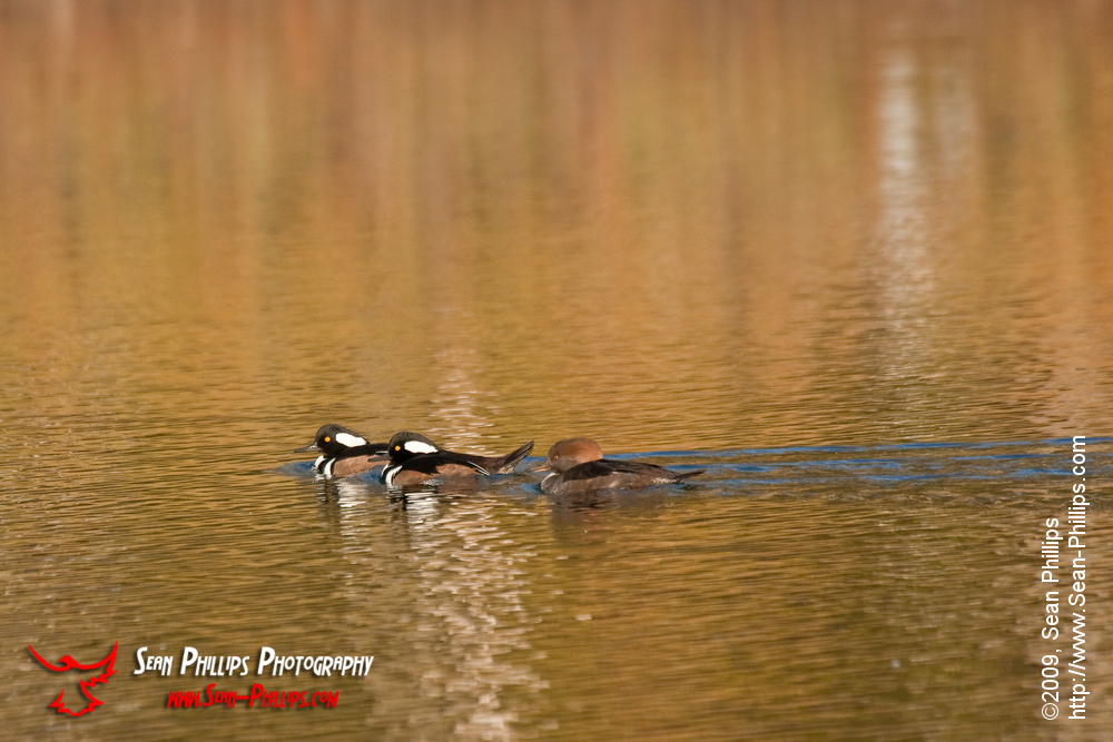 Hooded Mergansers at Carburn Park