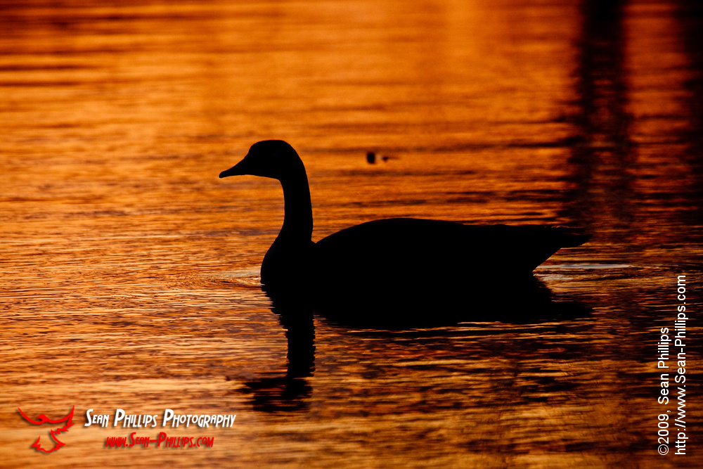 Silhouette of a Canada Goose at Carburn Park