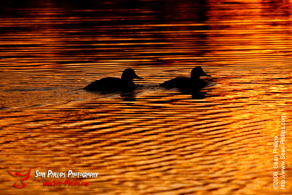 Silhouette of Redhead Ducks at Carburn Park