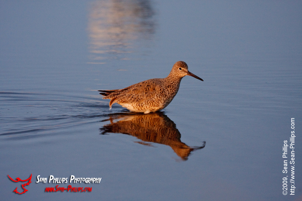 A Western Willet wading in a slough at sunrise