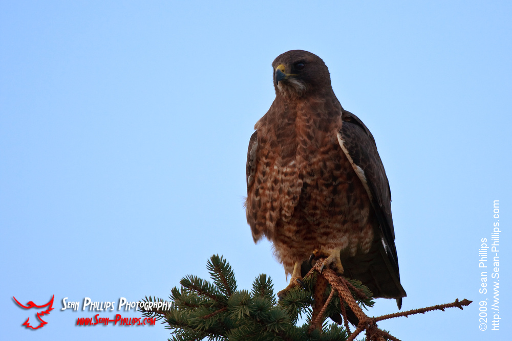 Dark Morph Swainsons Hawk