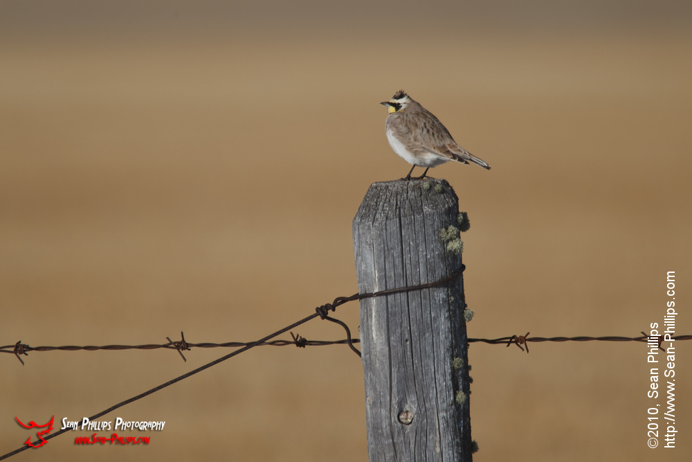 Horned Lark Perching on a Fencepost