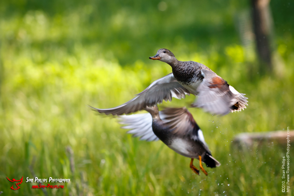 American Wigeons Launch into Flight